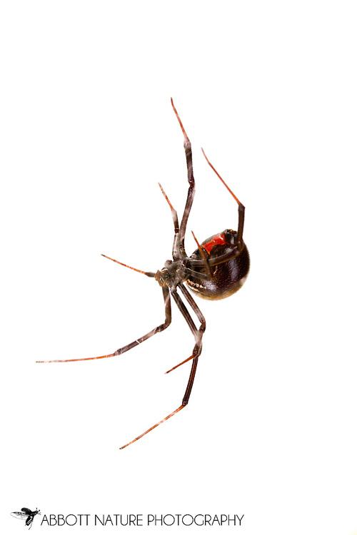Black Widow (Lactrodectus mactans/hesperus complex) - hesperus form - female<br /> TEXAS: Travis Co.<br /> Austin<br /> 9-Jan-2013<br /> J.C. Abbott &amp; K.K. Abbott