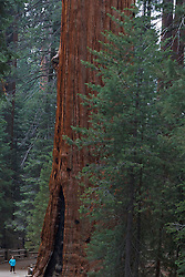 A woman looks at the base of a Giant Sequoia tree  (Sequoiadendron giganteum), Sequoia National Park, California, United States of America