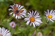 Lycaena helloides - Purplish Copper