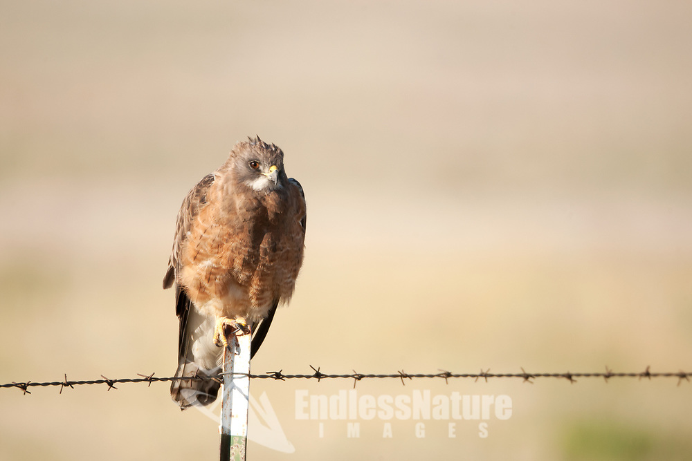 An early morning Swainsons Hawk rests on a farmland fence post always watching for mice and voles in the farmers field.