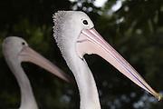 Australian Pelican, Kangaroo Island, Australia