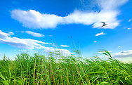 Wide angle view of marsh reeds blowing and distant seagull flying across long clouds into summer dusk, in Norman J Levy Park and Preserve, Merrick, Long Island, New York, USA. Beautiful nature background for concept of healthy living, time passing, nostalgia, travel, tourism, leisure, peace, faith. Sweeping vista taken with Nikon D700 and Nikkor 14-24 ultra wide angle lens.