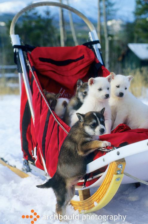 Sled dog puppies, Yukon