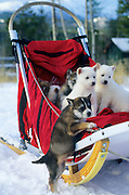 Sled dog puppies, Yukon