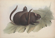 Anomalurus fraseri, Lord Derby's scaly-tailed squirrel From the book Zoologia typica; or, Figures of new and rare animals and birds described in the proceedings, or exhibited in the collections of the Zoological Society of London. By Fraser, Louis. Zoological Society of London. Published by the author in London, March 1847