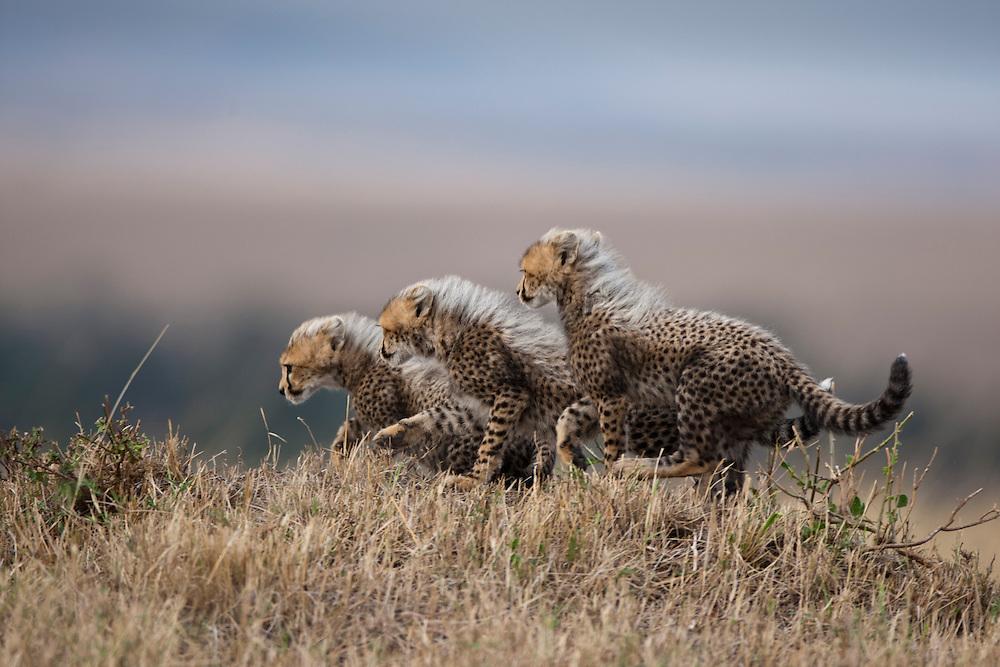 Africa, Kenya, Masai Mara Game Reserve, Three Cheetah cubs (Acinonyx jubatas) running through grass while playing on savanna
