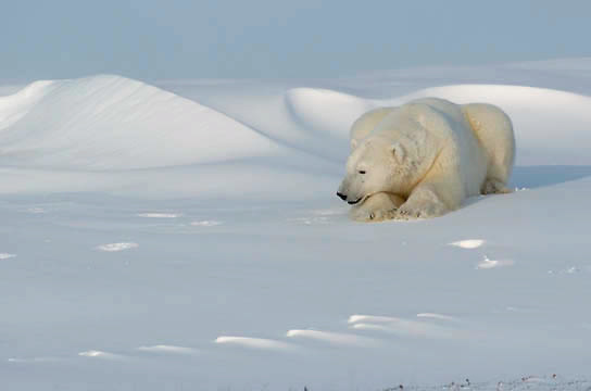 Polar Bear (Ursus maritimus) at Cape Churchill, Churchill, Manitoba, Canada