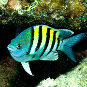 Caribbean Damselfish