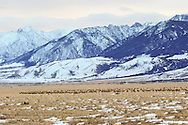 Elk herd on winter range in the Paradise Valley in southern Montana.