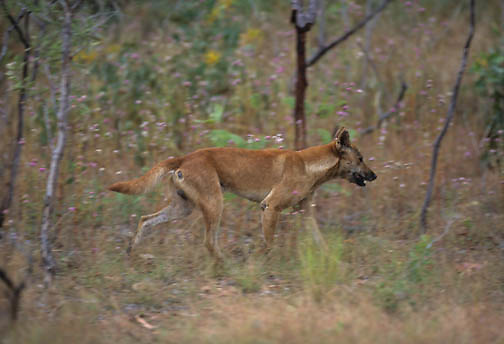 Dingo (Canis familiaris).  A wild dingo in Kakado National Park in Australia.