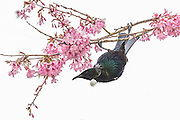 Tui hanging upside down from a cherry blossom branch.