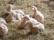 Commercial sheep farm during lambing season.