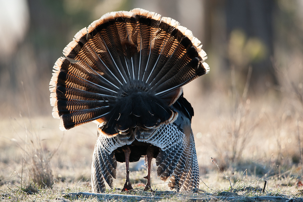 Rear view of a displaying wild turkey, Montana