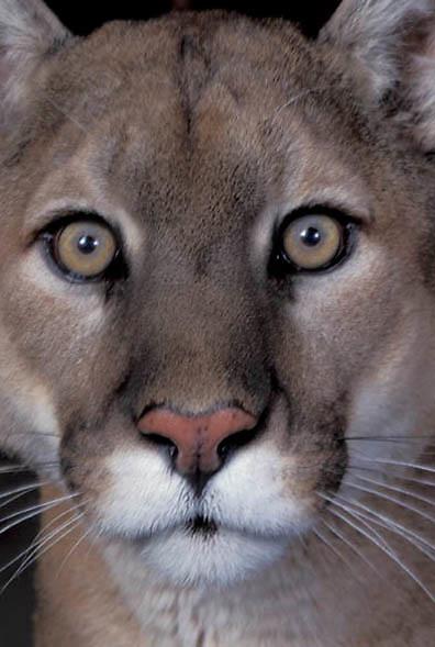 Mountain Lion or Cougar, (Felis concolor) Close up portrait.  Captive Animal.