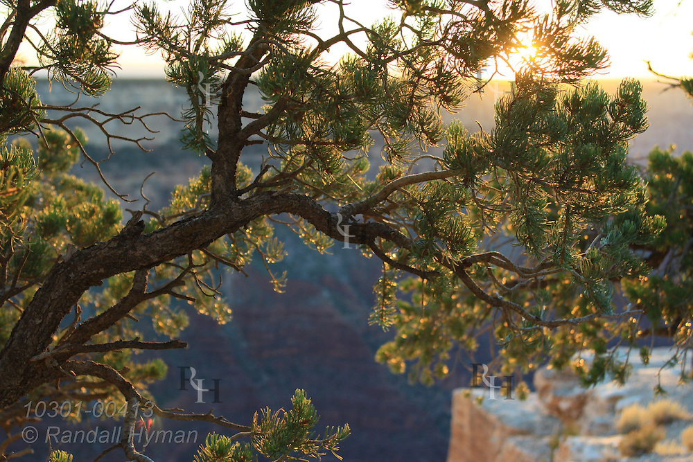 Pinyon pine glows in last rays of late September sunset at Mohave Point; Grand Canyon National Park, Arizona.