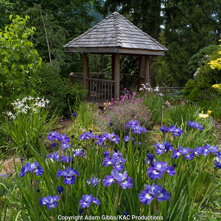 Siberian iris and gazebo