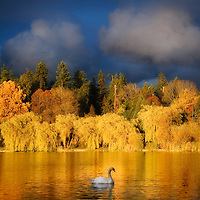 Intense late afternoon sun on Lost Lagoon, all trees glowing in bright Autumn colours, the lagoon glowing gold. One single swan on the lagoon, lots of relfections from the trees.