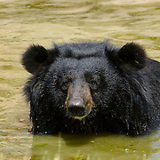 An Asiatic Black Bear, Ursus thibetanus, cooling off in a stream.