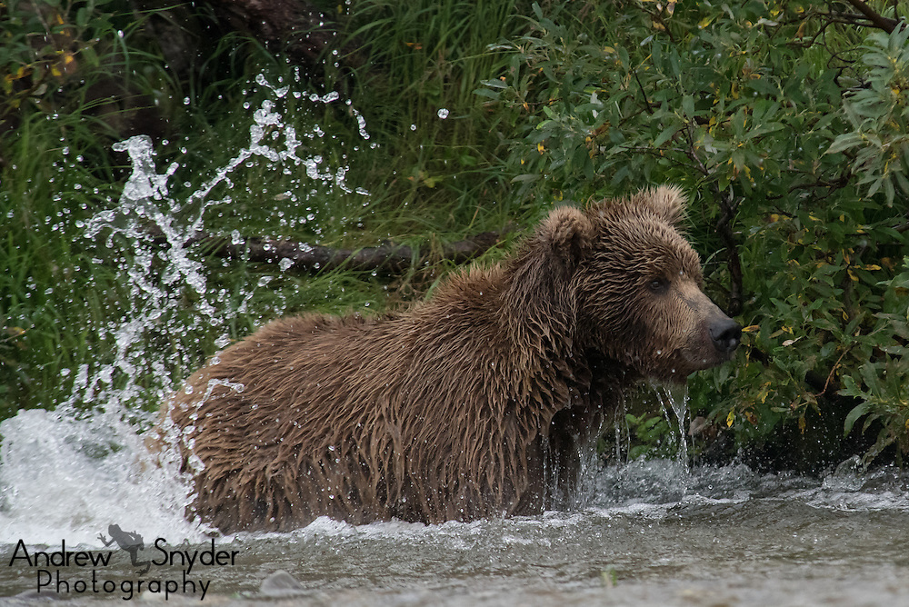 A splash settles after the mother bear missed her target fish - Katmai, Alaska