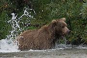 A splash settles after the mother bear missed her target fish - Katmai, Alaska