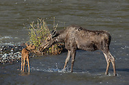 As the days drag on, the moose cow tries to coax her calf to swim across the river, to no avail.
