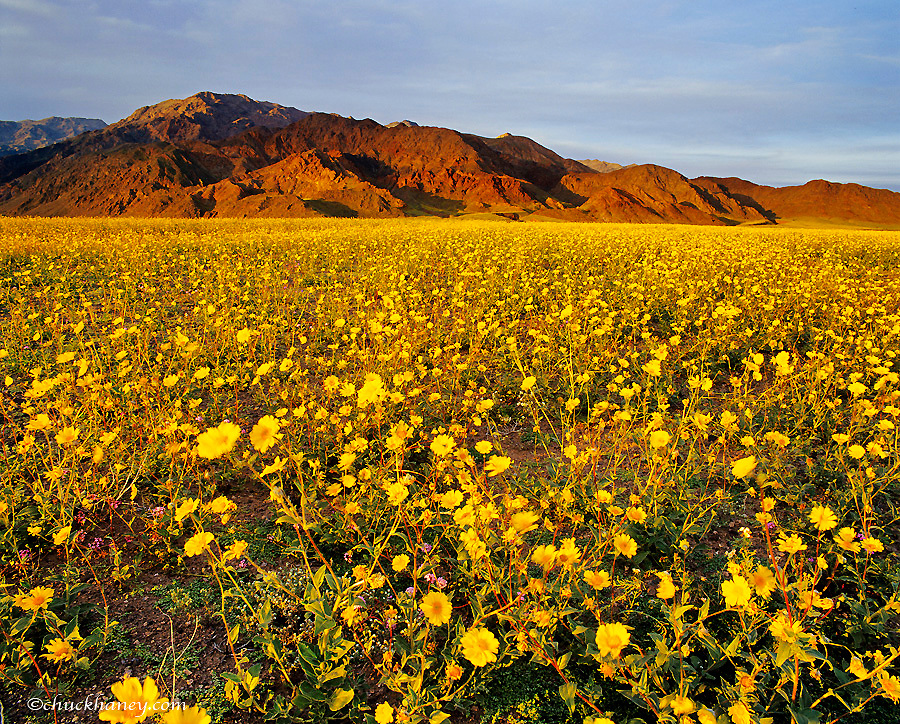 Vast Field of Desert Gold Wildflowers in Death Valley National Park in California