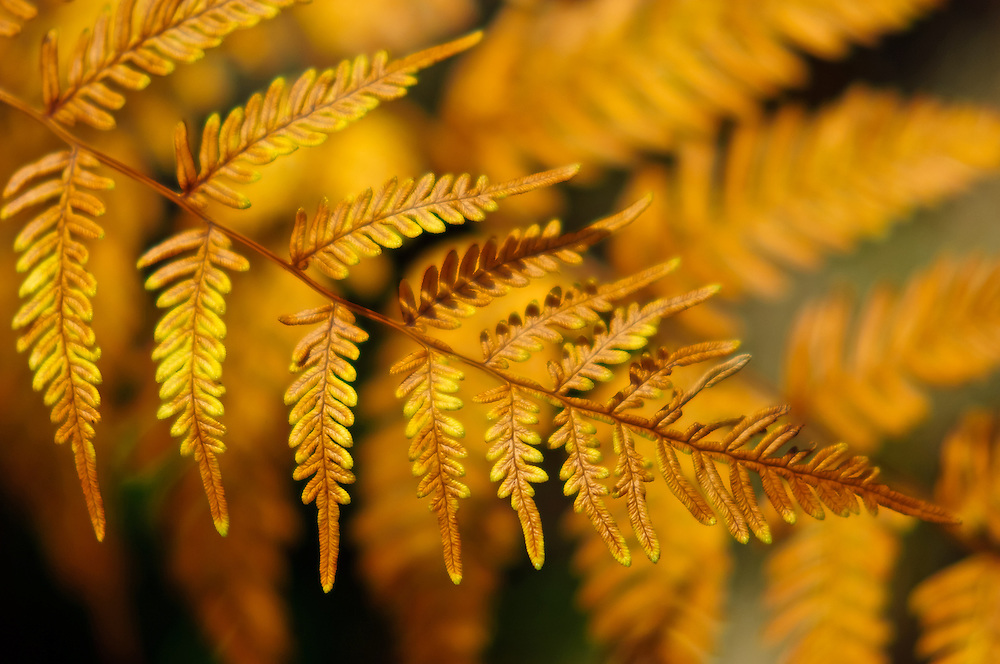 Stock photograph of bronze coloured bracken fern leaves in the Dandenongs of Victoria