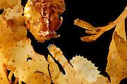 [captive] Sargassum Fish (Histrio histrio) near the surface on floating Sargassum Weed, Raja Ampat, West Papua, Indonesia, Pacific Ocean