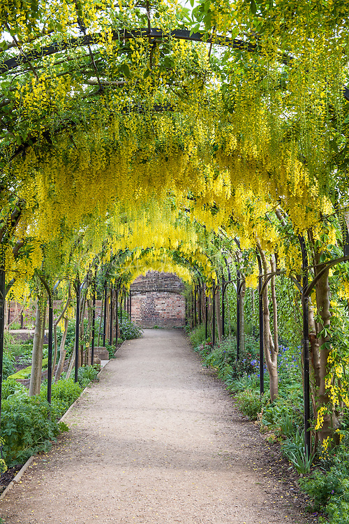 Yellow flowered Laburnum tunnel above a path at RBG Kew
