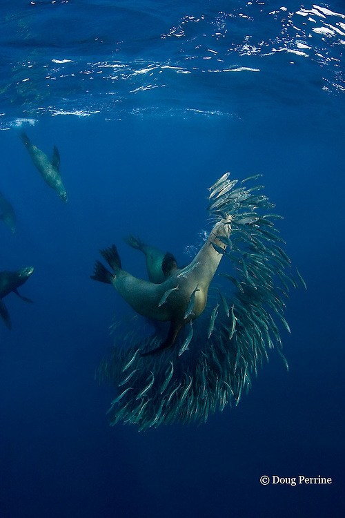 California sea lions, Zalophus californianus, feeding on baitball of sardines or pilchards, Sardinops sagax, off Baja California, Mexico ( Eastern Pacific Ocean )