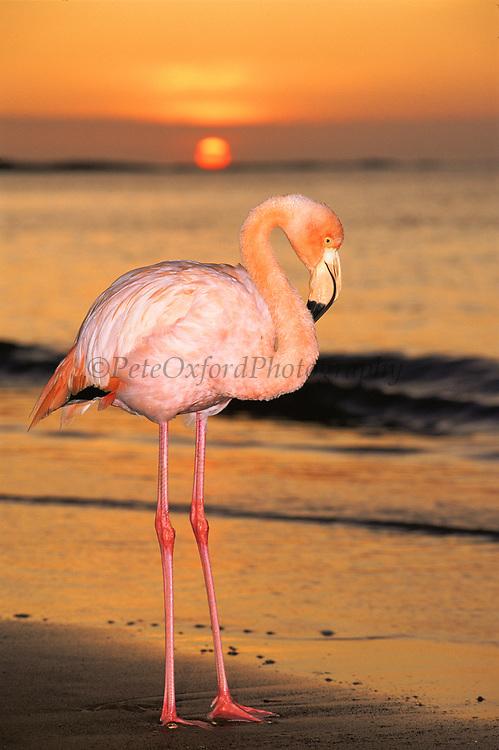Greater Flamingo<br /> Phoenicopterus  ruber<br /> Floreana Island, GALAPAGOS, ECUADOR  South America<br /> Sub-species of Carabbean Species