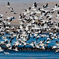 , snowgeese, freezeout lake wildlife area, geese, montana, usa,, russell