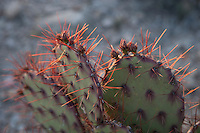 Brown Spined Prickly Pear at Big Bend National Park, Texas. (Opuntia phaeacantha).