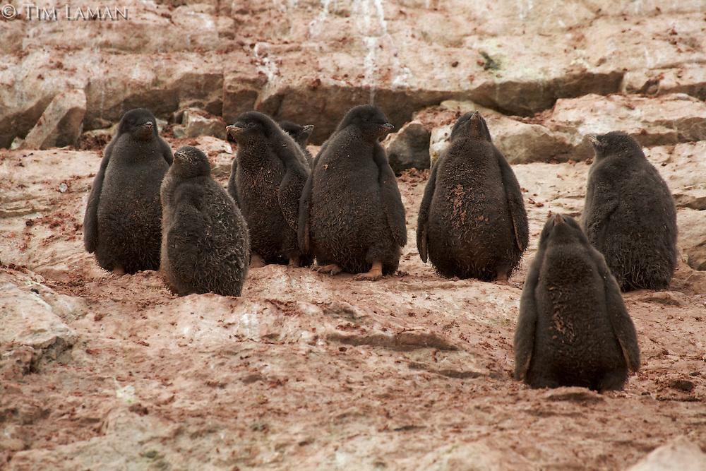 Creche of Adelie Penguin chicks (Pygoscelis adeliae).