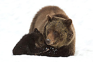 The grizzly sow, known as Blaze, tenderly nuzzles her tiny  cub-of-the-year.  Blaze successfully raised many cubs along the shores of Yellowstone Lake, where she made her home. The cub pictured here,  affectionately known as Hobo, was Blaze's only cub in 2011.