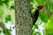 pale-billed woodpecker (Campephilus guatemalensis) is a very large woodpecker that is a resident breeding bird from northern Mexico to western Panama. Photographed in Costa Rica.