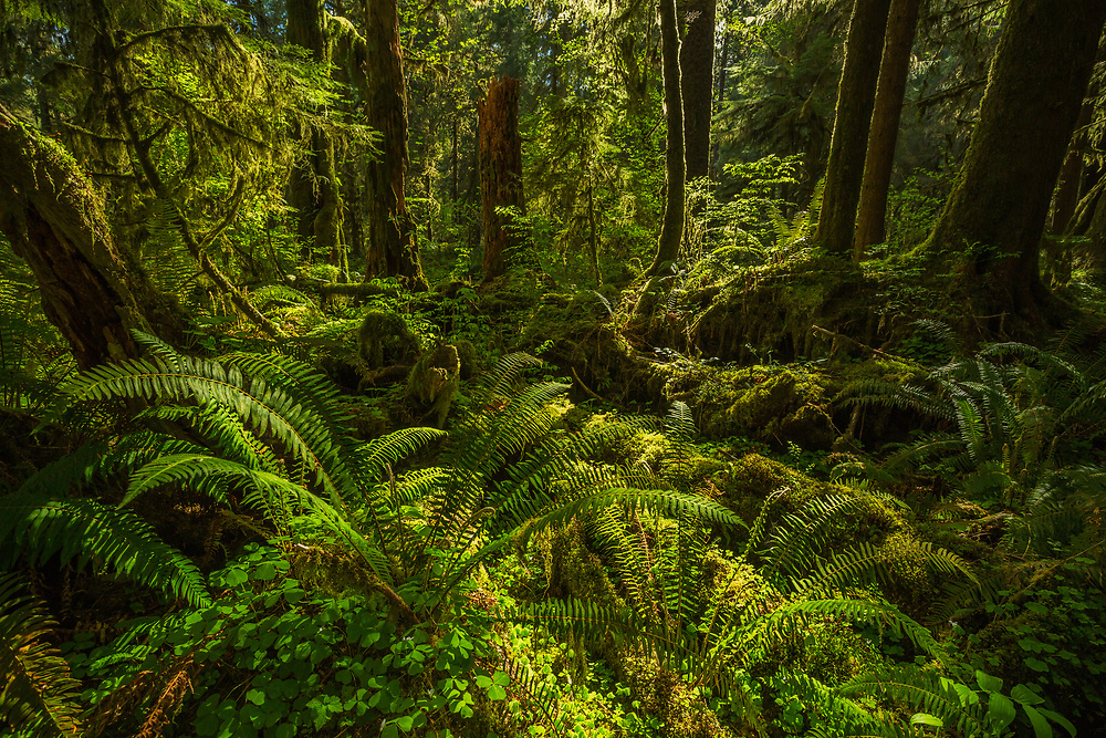 Intimate scene in the Hoh Rainforest, Olympic National Park