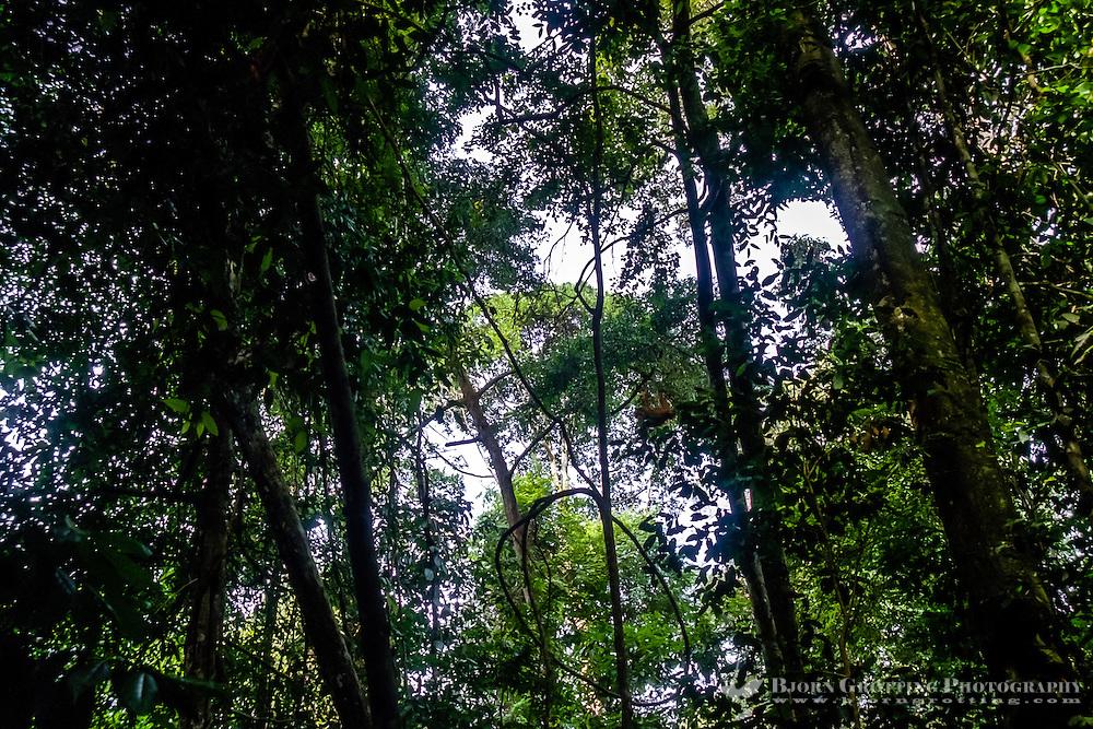 Indonesia, Sumatra. Bukit Lawang. Gunung Leuser National Park. The orangutan sanctuary of Bukit Lawang is located inside the park. Orangutans can be seen high up in the trees.