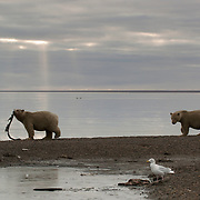 Polar bear (Ursus maritimus) feeding on the carcass of a bowhead whale.(Balaena mysticetus). Kaktovik, Alaska
