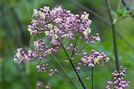 Thalacitrum delavay, small purple flowers in Derry Watkin's Special Plants Garden in Cold Ashton, Chippenham, Somerset, UK