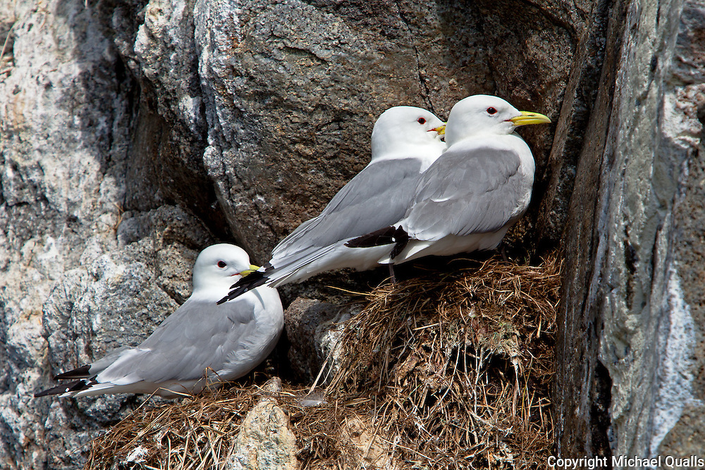 Black Legged Kittiways, cliffside in Kenai Fjord, Kenai Fjord NP, Alaska.  Space is at a premium!