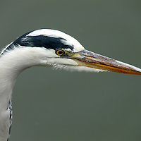 EN&gt; portrait of a grey heron |<br />
