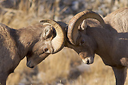 Fighting Bighorn sheep Rams during the December rut in Jackson Hole Wyoming