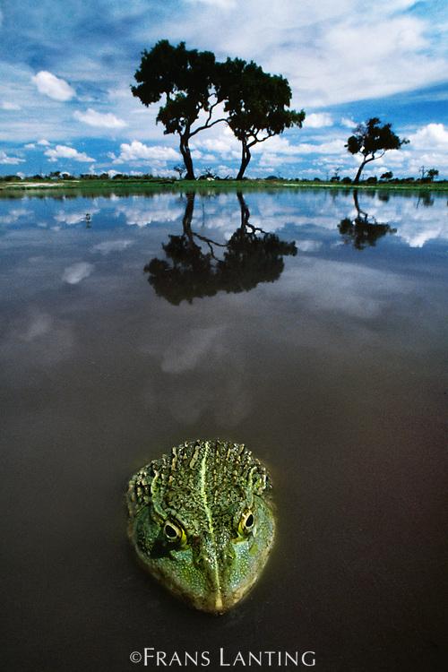 African bullfrog, Chobe National Park, Botswana