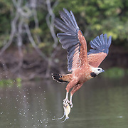 Black-collared Hawk Flies with Piranha in its Talons