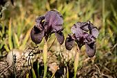 Saving the iris cedreti · La sauvegarde de l'iris des cèdres