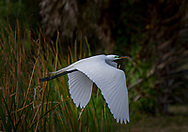 The great egret (Ardea alba), also known as the common egret, large egret or (in the Old World) great white heron, is a large, widely distributed egret, with four subspecies found in Asia, Africa, the Americas, and southern Europe.
