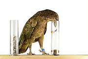 [captive] In this experiment the Kea (Nestor notabilis) is presented three tubes filled with water, large or small stones. The Kea learns to drop stones into the tube filled with water until the water level has risen high enough for the Kea to pick up a nut. The picture was taken in cooperation with the University of Vienna (UniVie) and University of Veterinary Medicine Vienna (VetMed). Sequence 12/16. | In diesem Experiment werden dem Kea (Nestor notabilis) drei Röhrchen präsentiert, die entweder mit Wasser, kleinen oder großen Steinchen gefüllt sind. Der Kea wirft gezielt Steine in die Säule mit Wasser, bis die darin befindliche Nuss hoch genug schwimmt, um vom Kea erreicht zu werden. Das Bild wurde in Zusammenarbeit mit der Veterinärmedizinischen Universität Wien und der Universität Wien erstellt. Sequenz 12/16.