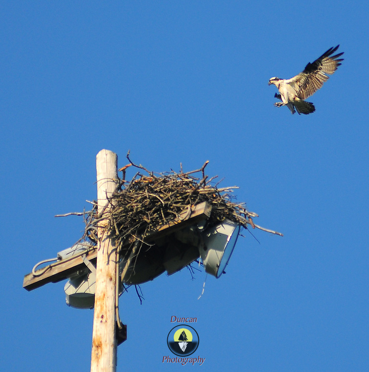 May 8, 2009 -- BATH, Maine. After a set of passing showers on Friday afternoon, a local resident Osprey who nests on top of the Center Field lights took a lap around the ball fields and returned home for a roost under clear skies.  Photo by Roger S. Duncan.