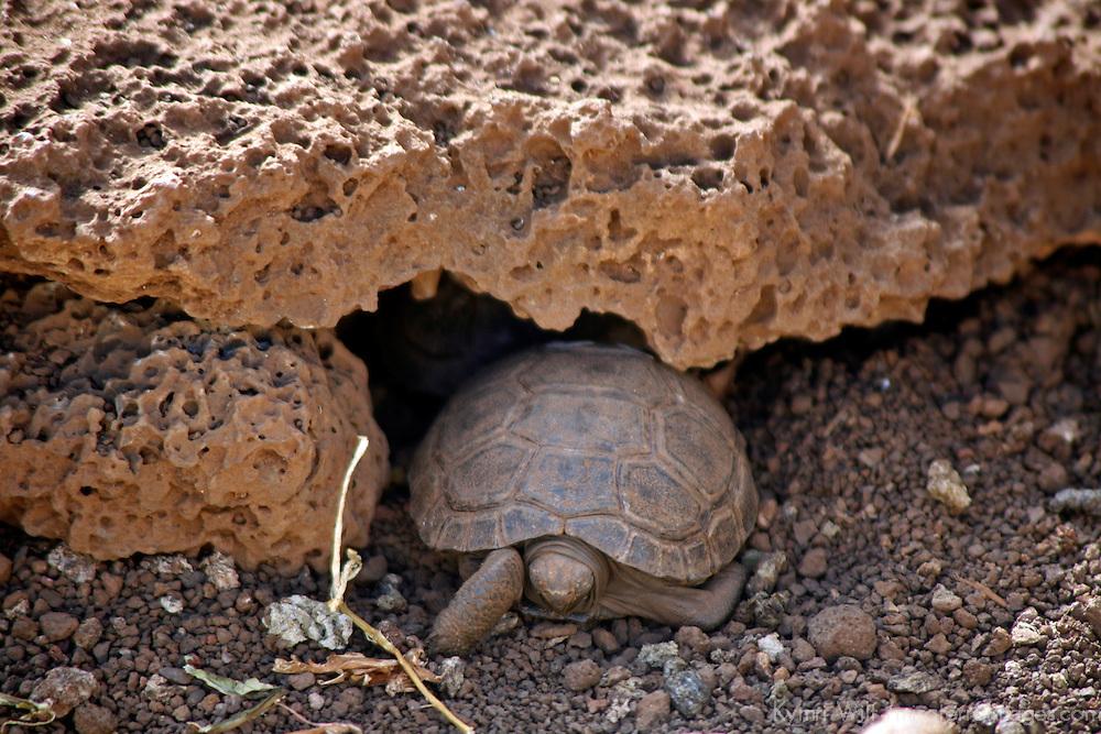 South America, Ecuador, Galapagos Islands. Young Galapagos Tortoise at the Charles Darwin Research Foundation on Santa Cruz Island.